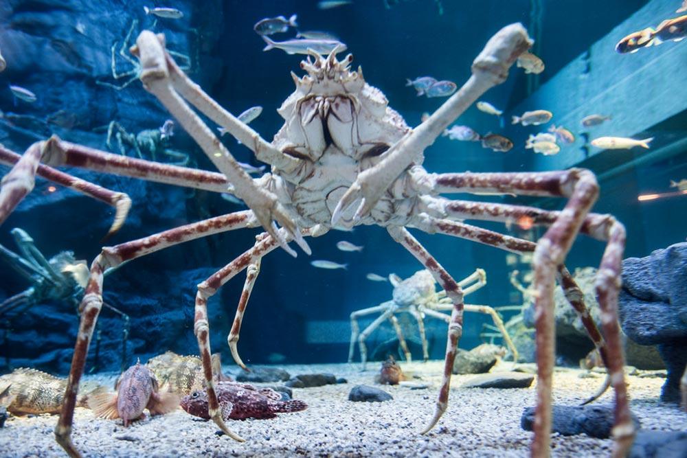 большое животное Японский краб-паук