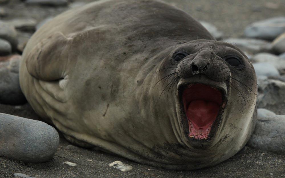 большое животное Южный морской слон