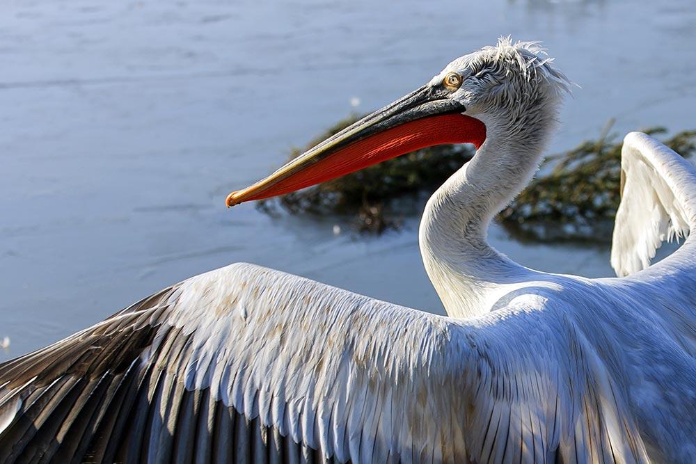 большое животное Кудрявый пеликан