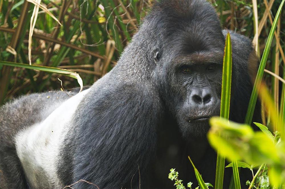 большое животное Восточная горилла