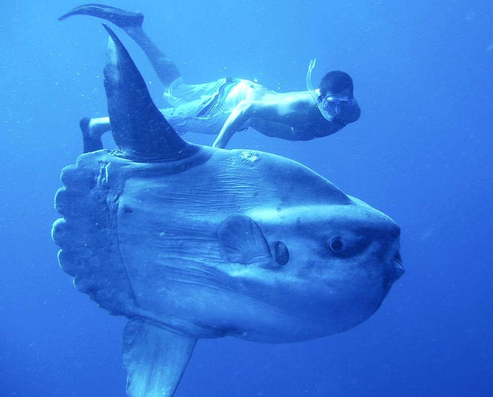 большое животное Луна-рыба