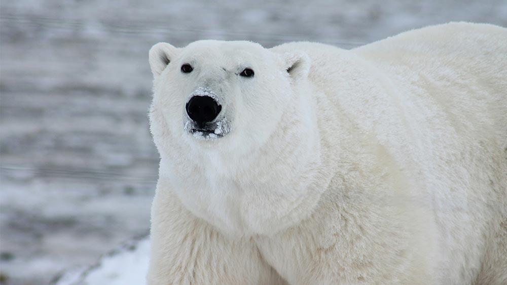 большое животное Полярный медведь