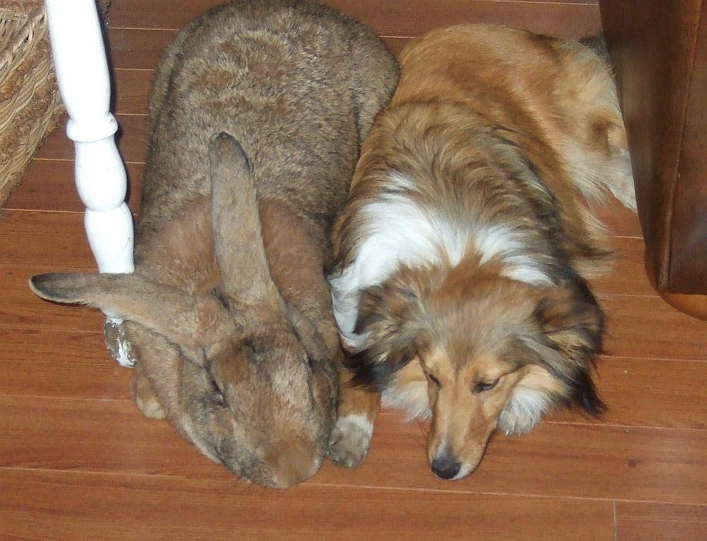 большое животное Фландр кролик