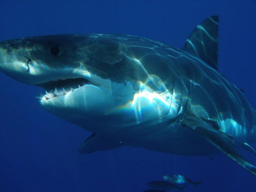 большое животное Большая белая акула