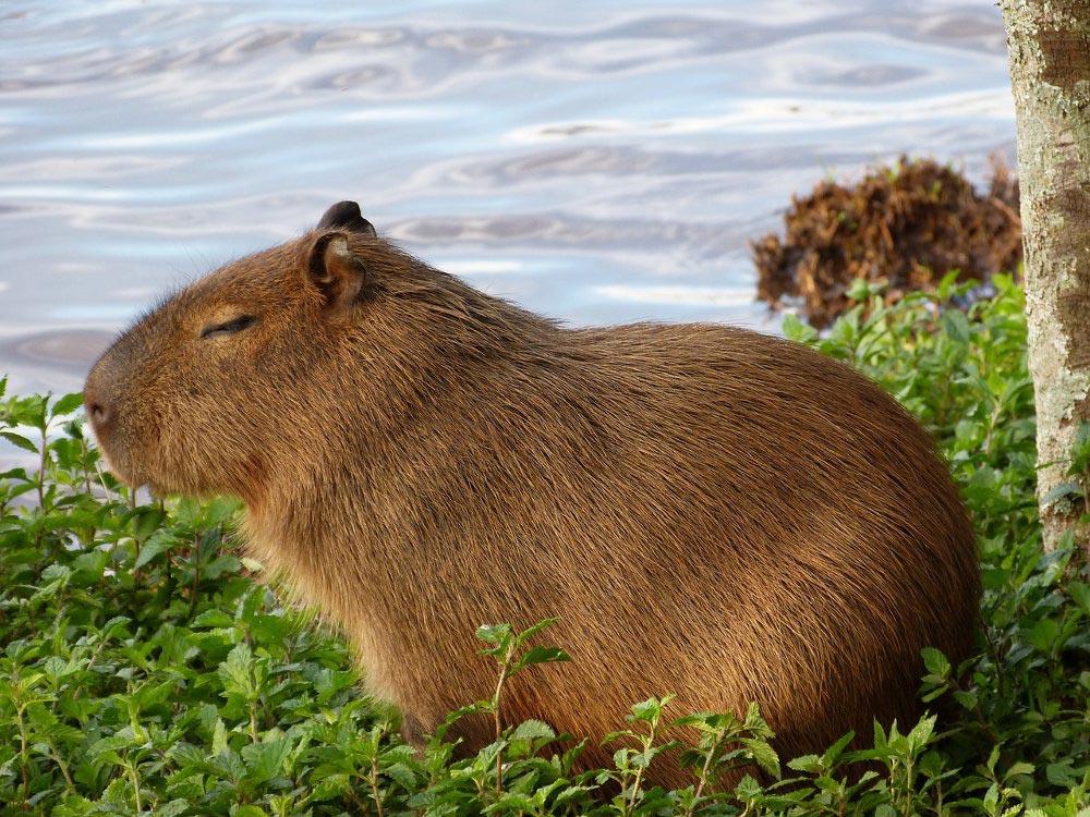 большое животное Капибара