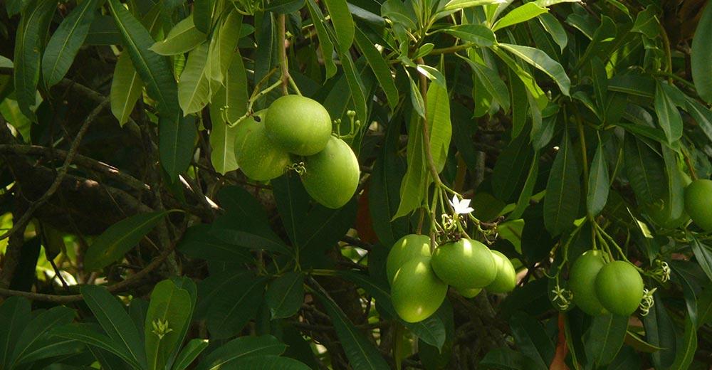 опасное растение Цербера Одолламская