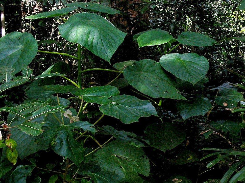 опасное растение Жалящее дерево