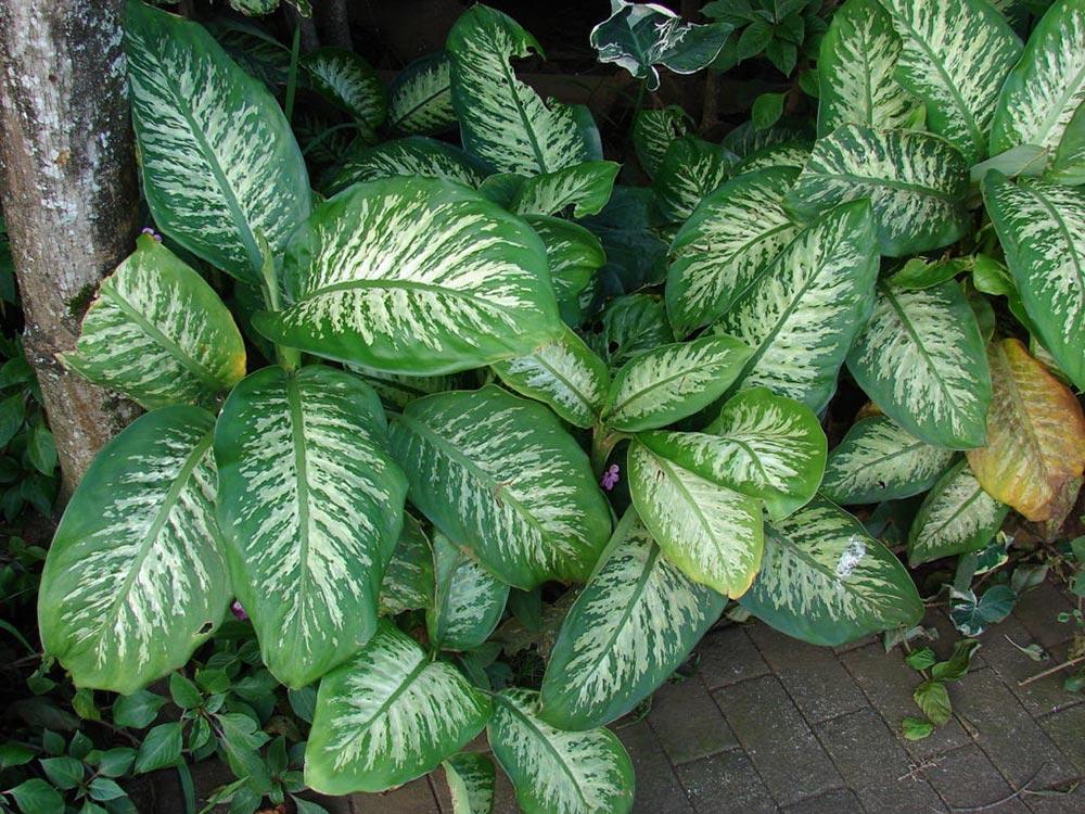 опасное растение Диффенбахия