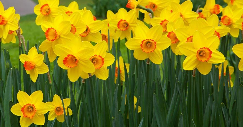опасное растение Нарцисс