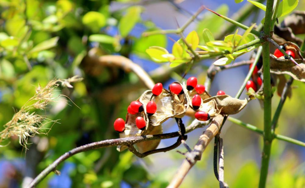 опасное растение Чёточник Молитвенный