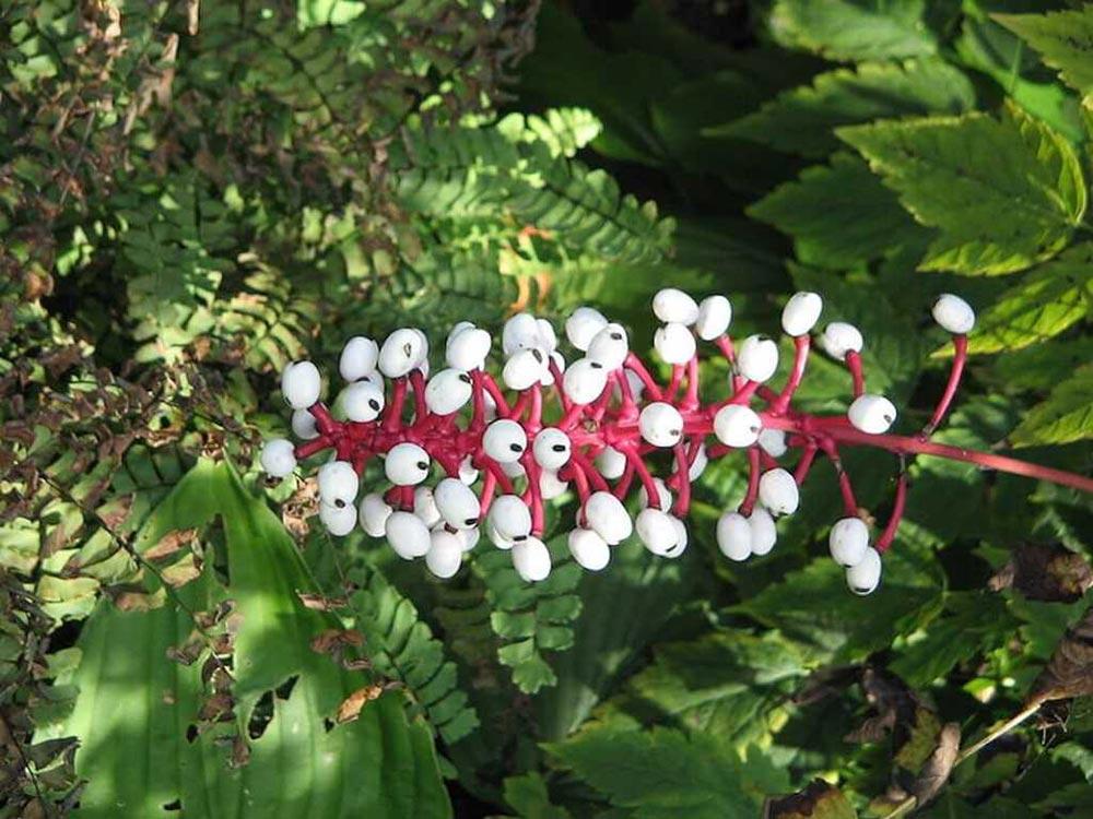 опасное растение Воронец Толстоножковый