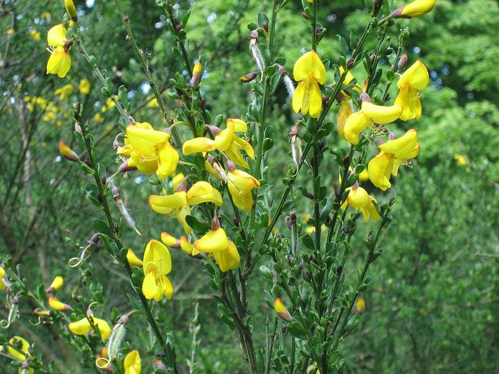 опасное растение Ракитник Венечный