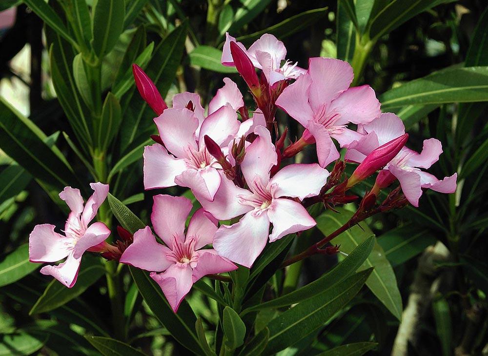 опасное растение Олеандр