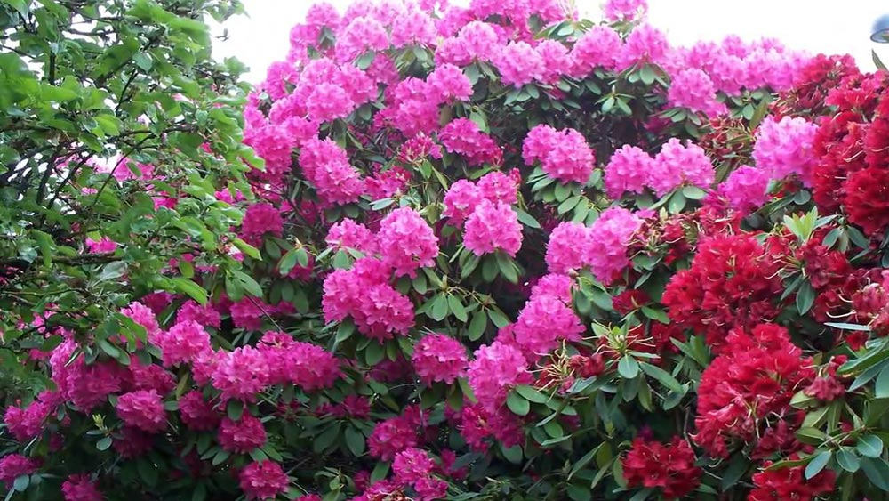 опасное растение Рододендрон