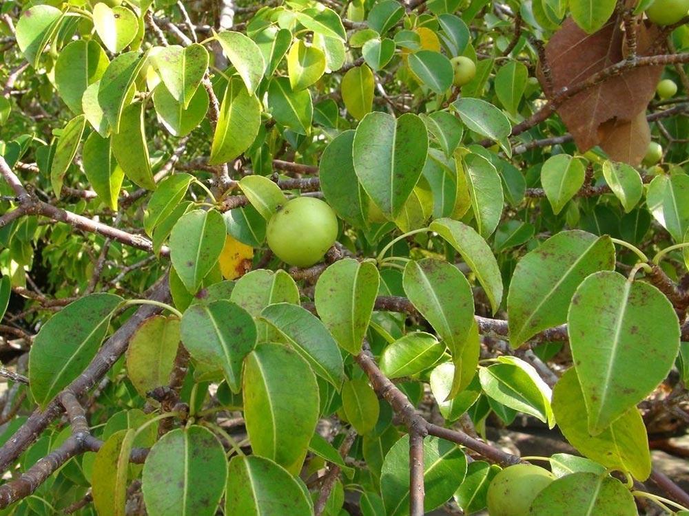 опасное растение Манцинелловое дерево