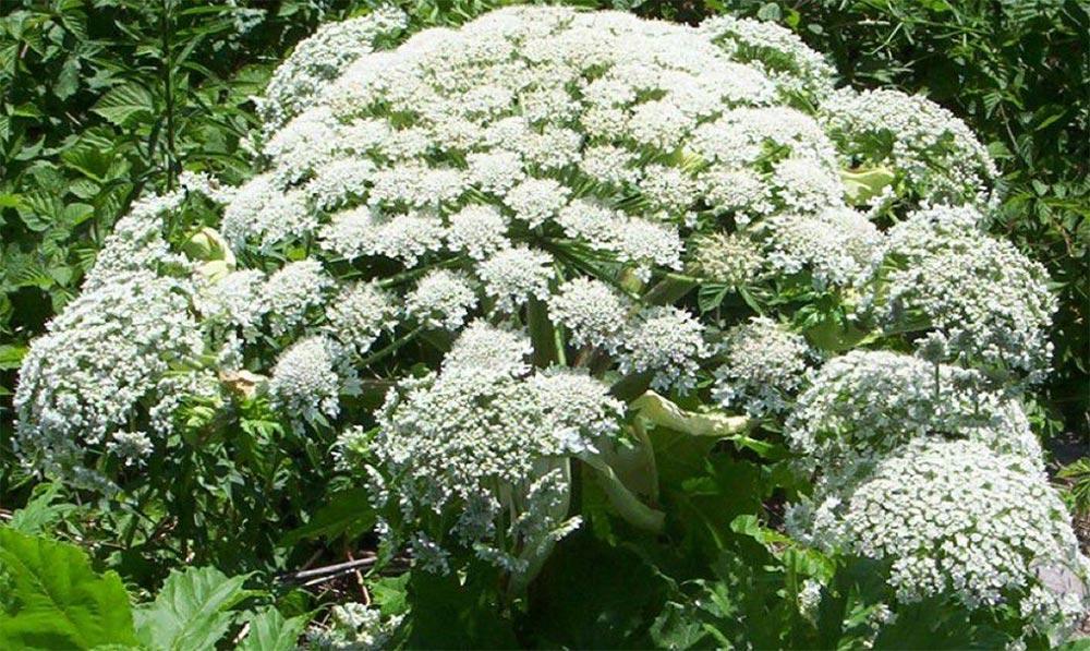опасное растение Борщевик