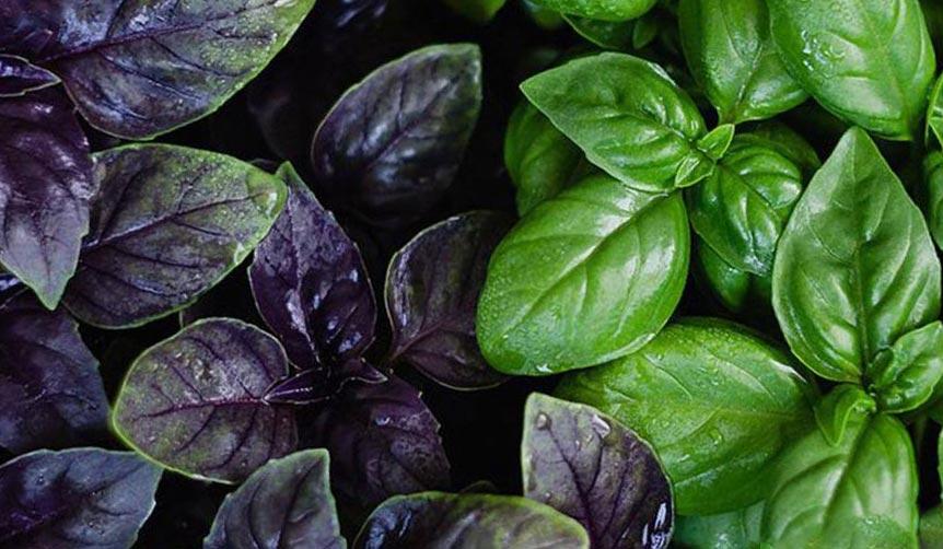влияние растений на здоровье человека любовь настроение Базилик