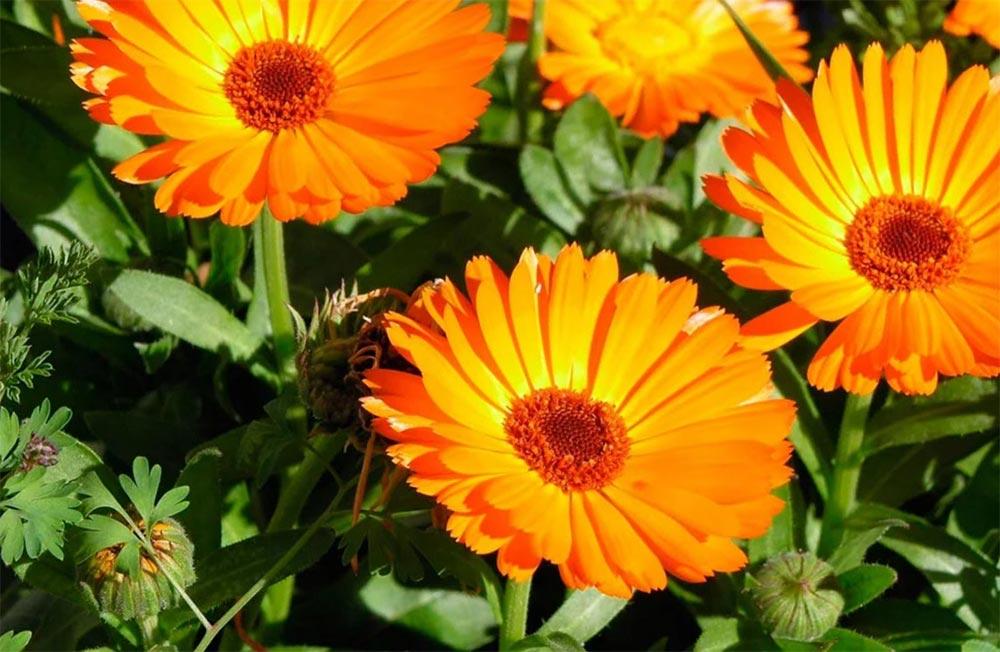 влияние растений на здоровье человека любовь настроение Календула