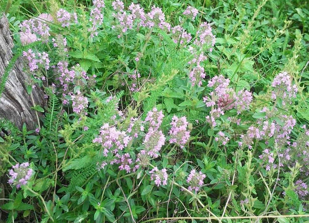 влияние растений на здоровье человека любовь настроение Тимьян