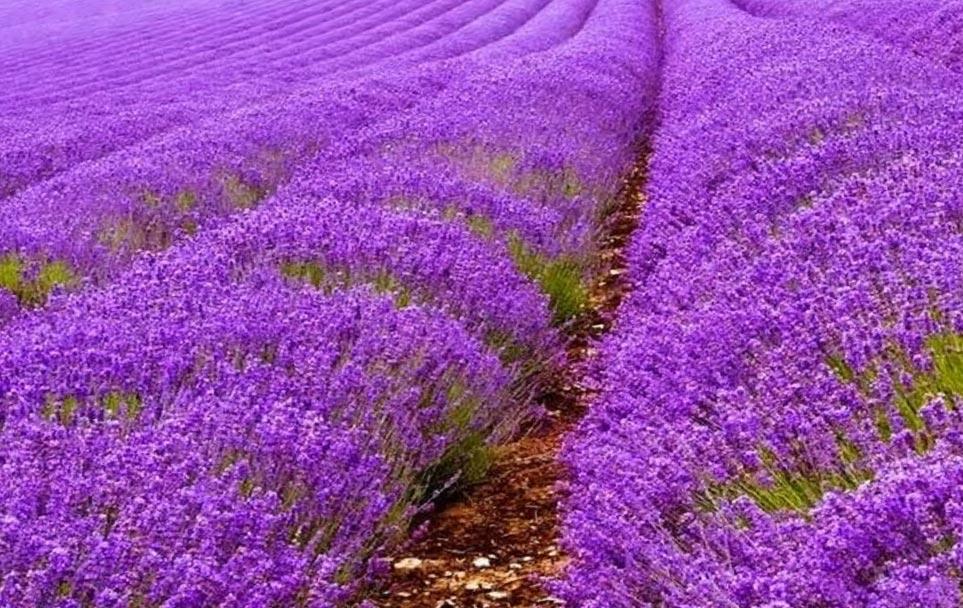 влияние растений на здоровье человека любовь настроение Лаванда