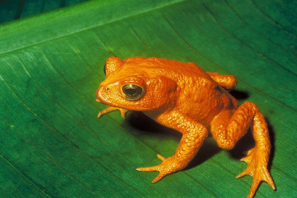 виды животных вымерли Оранжевая жаба