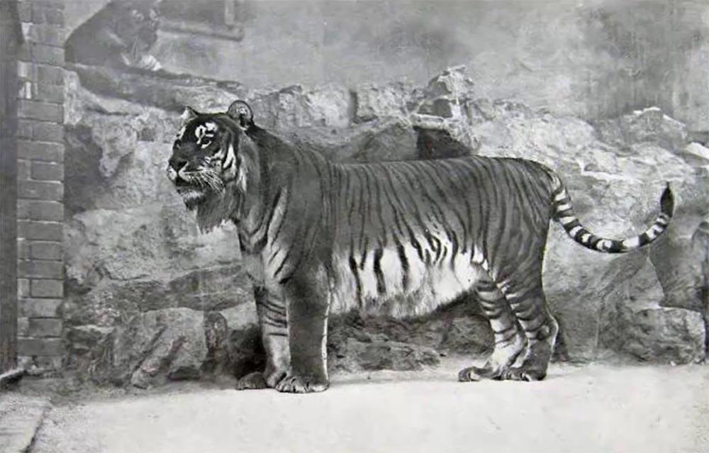 виды животных вымерли Туранский тигр