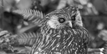 виды животных вымерли Смеющаяся сова