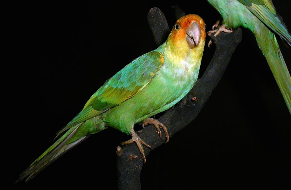 виды животных вымерли Каролинский попугай