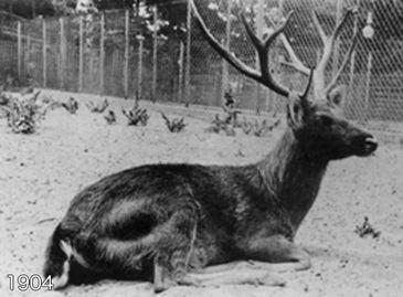 виды животных вымерли Олень Шомбургка