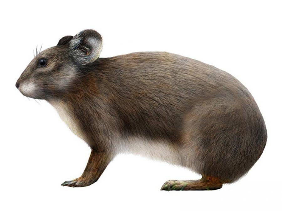 виды животных вымерли Сардинская пищуха