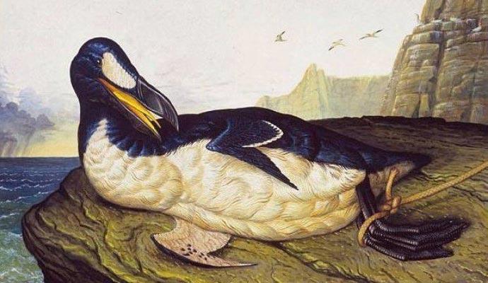 виды животных вымерли Бескрылая гагарка