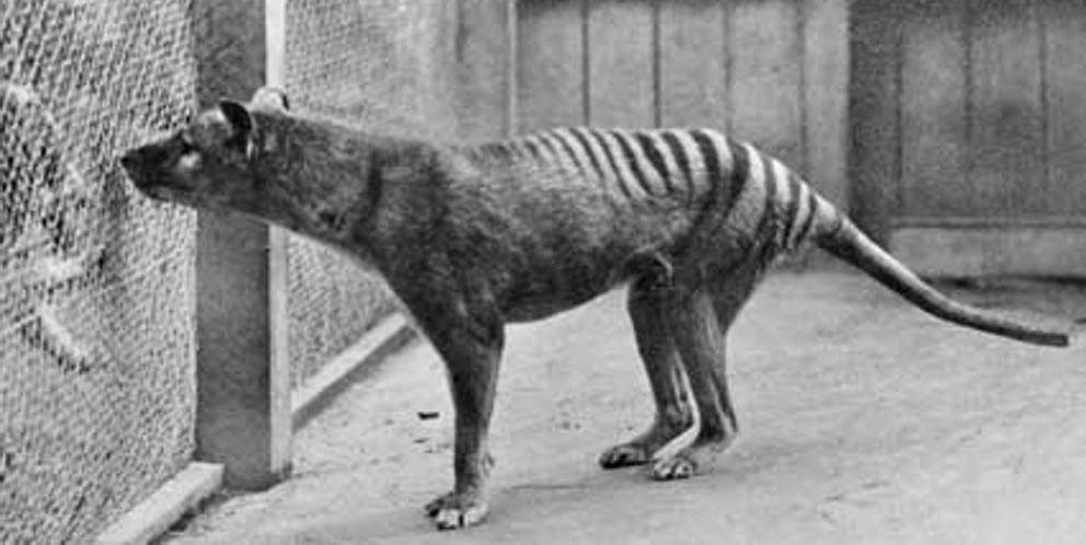 виды животных вымерли Сумчатый волк