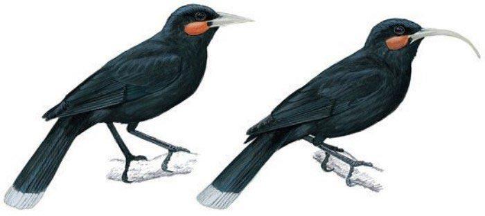 виды животных вымерли Разноклювая гуйя