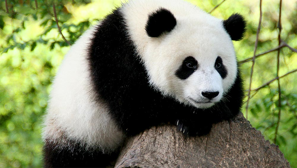 глупые животные Панда