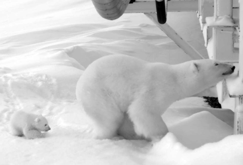 Глобальное потепление полярные белые медведи