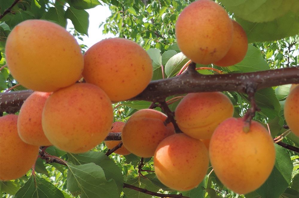 способы заморозки фруктов и овощей Абрикосы