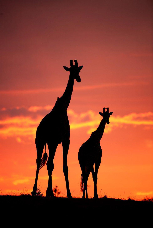 Wildlife Greg Du Toit силуэты животных Африки на рассвете и закате жирафы