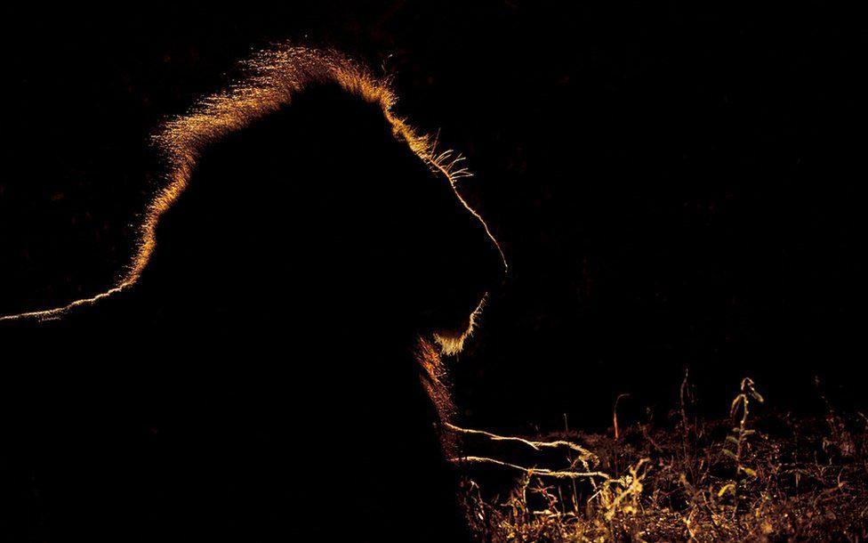 Wildlife Greg Du Toit силуэты животных Африки на рассвете и закате лев