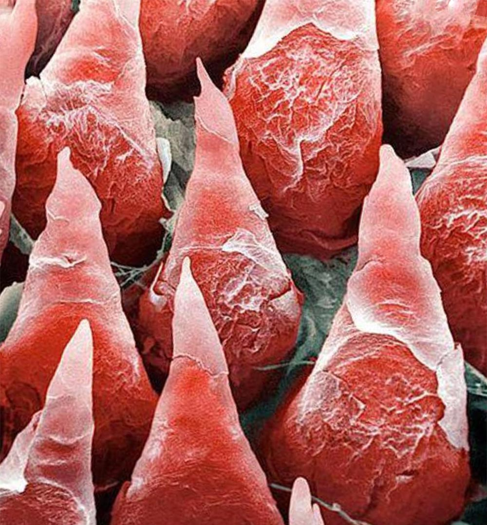 органы под микроскопом язык