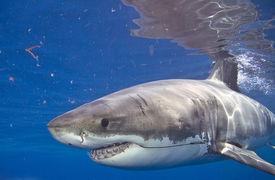 хищник Белая акула