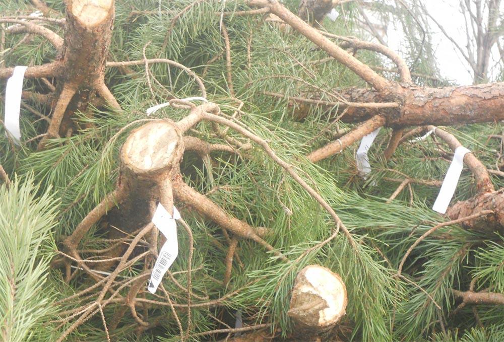 лайфхаки, как правильно выбрать живую елку ствол