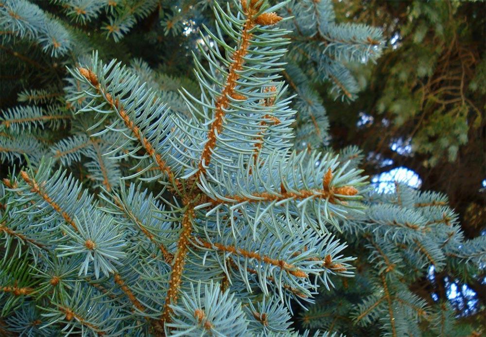 лайфхаки, как правильно выбрать живую елку синий цвет
