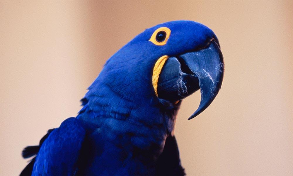 популярные редкие домашние питомцы Гиацинтовый ара
