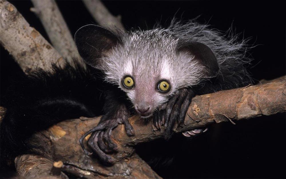 популярные редкие домашние питомцы Мадагаскарская руконожка