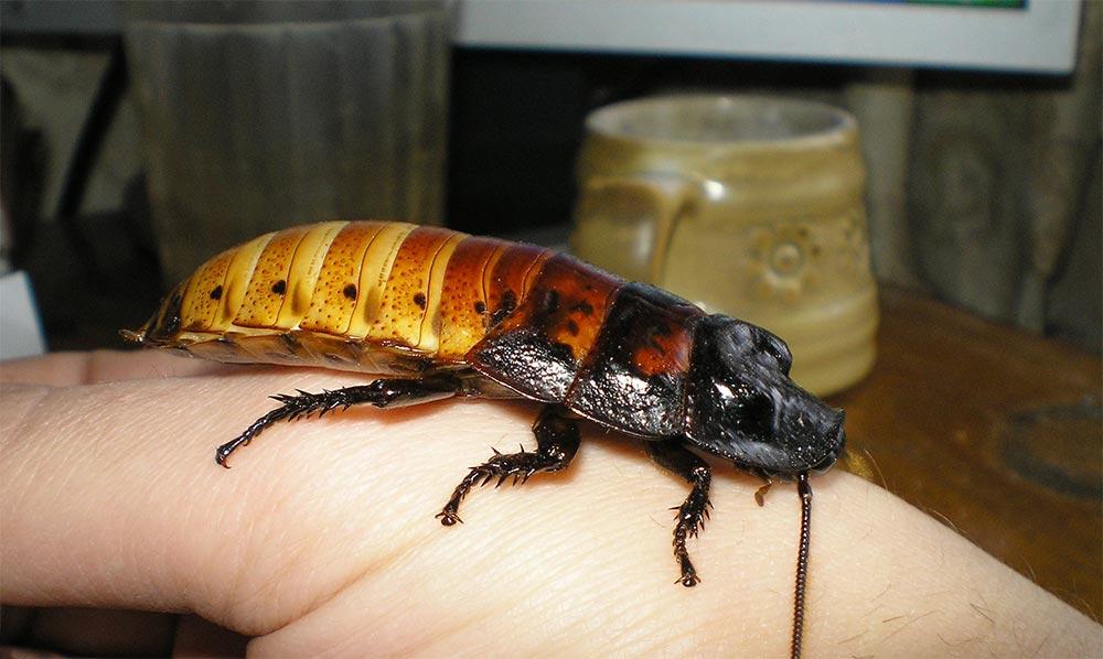 популярные редкие домашние питомцы Мадагаскарские шипящие тараканы