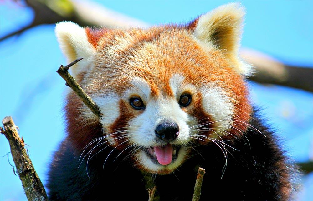 популярные редкие домашние питомцы Малая красная панда