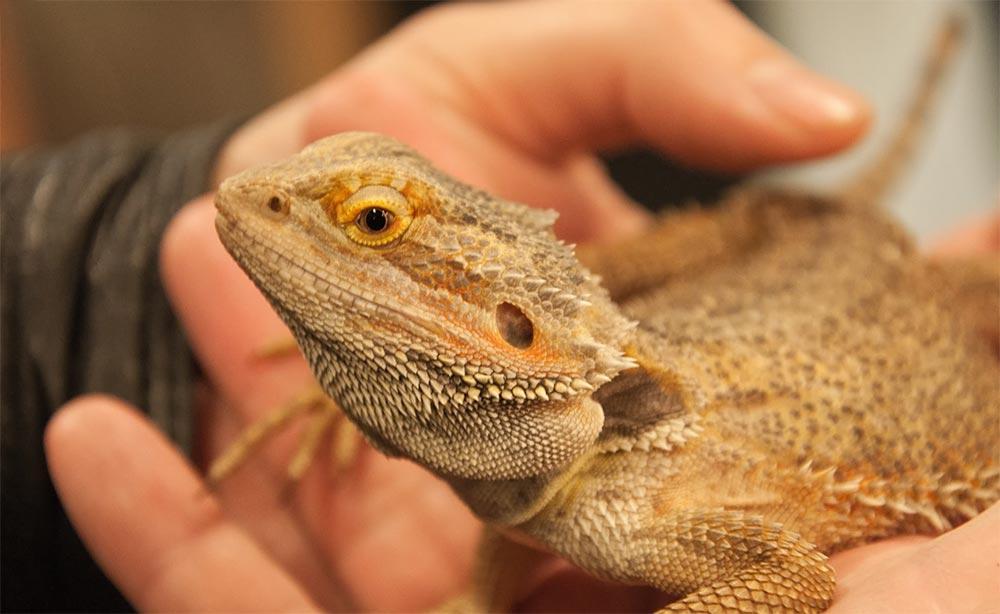 популярные редкие домашние питомцы Бородатый дракон агама