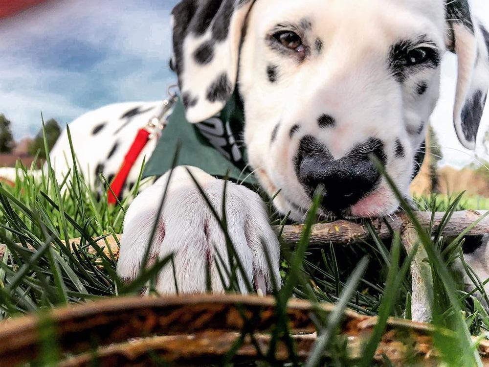 Уайли Wiley далматинец с сердечком на носу